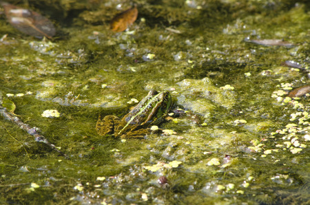 ooze: Frog in a reservoir Stock Photo
