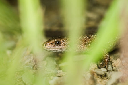 curve claw: Lizard crawling across the rocky surface Stock Photo