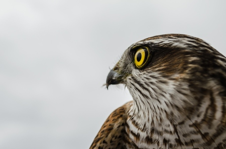 falcon: Falcon resting after a hard trip Stock Photo