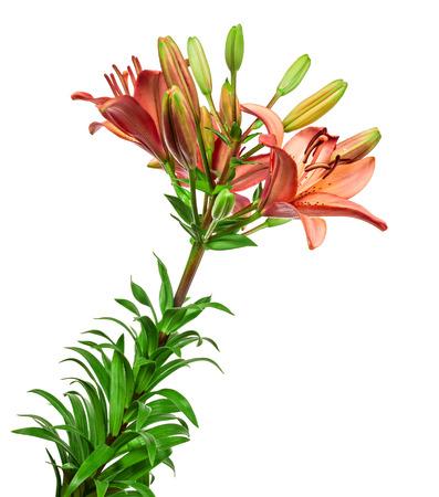 lemony: the Beautiful lilies on a white background Stock Photo