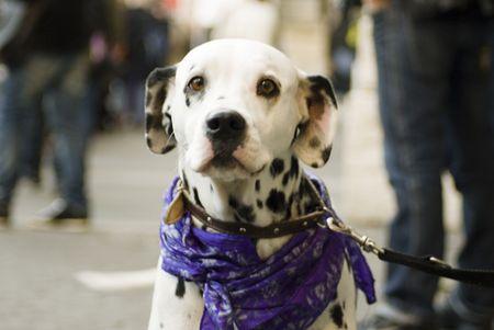 5 december 2009,Piazza della Republica,Rome,NoBday(not berlusconi's Day).a dog in the manifestation Stock Photo - 6888047