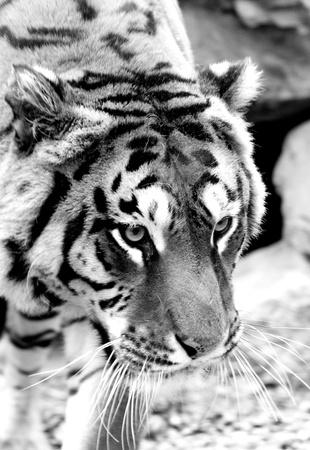tiger Stock Photo - 13083664