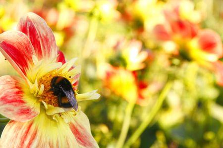 Dahlia in the garden Stock Photo - 3181632