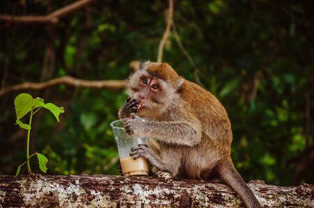 Small grey monkey drinking coffee on the tree Фото со стока