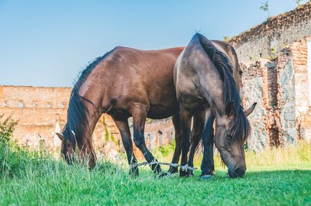 Grazing horses tied together with ancient castle ruins on the background Banco de Imagens