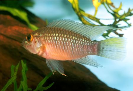 Identification picture for the Apistogramma sp. Nanay Stock Photo - 2658853