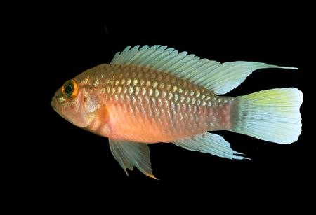 apistogramma: Identification picture for the Apistogramma sp. Nanay isolated over black background