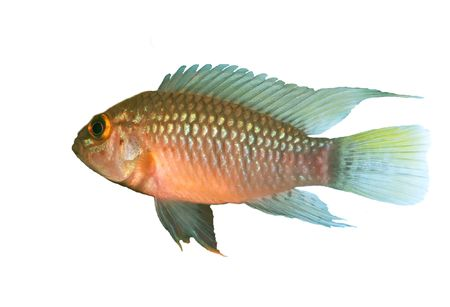 apistogramma: Identification picture for the Apistogramma sp. Nanay isolated over white background