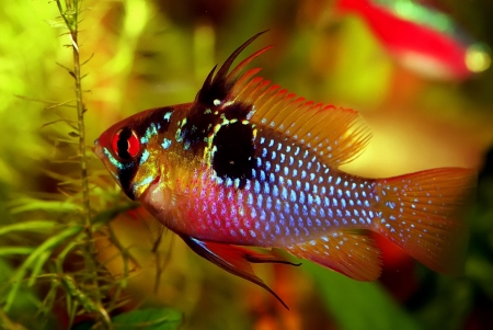 Identification picture for the Mikrogeophagus ramirezi, the Ram cichlid (Male) [cichlidae geophaginae] Stock Photo - 2662471