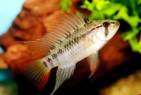 apistogramma: Identification picture for the Apistogramma viejita (Male)