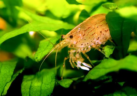 freshwater aquarium plants: Identification picture for the Caridina japonica shrimp