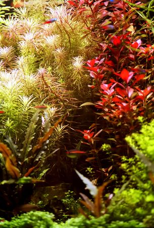 freshwater aquarium plants: Different types of colorful aquatic grass with some blurred fishes Stock Photo