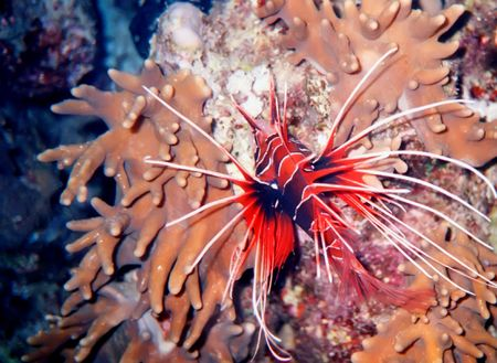 Lion fish on coral into Red Sea, Egypt Stock Photo - 2658916