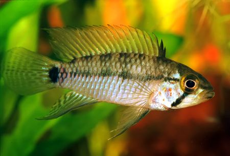 Identification picture for the Apistogramma sp. emerald alenquer Stock Photo - 2658881