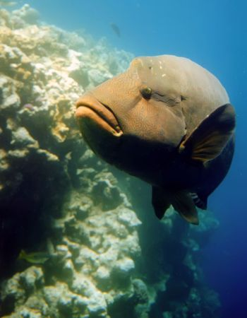 napoleon fish: Napoleon fish into Red Sea, Egypt