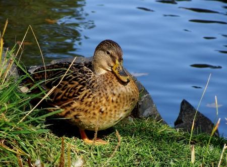 Kachna divoká, pták na vodě v přírodě