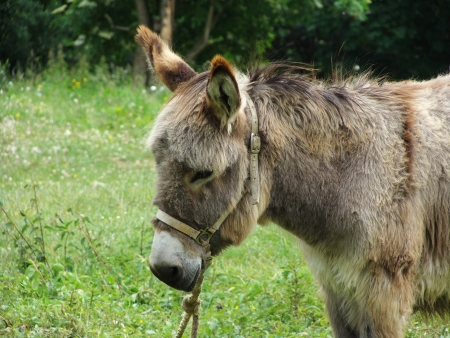 brown donkey in the meadow  waiting for the owner