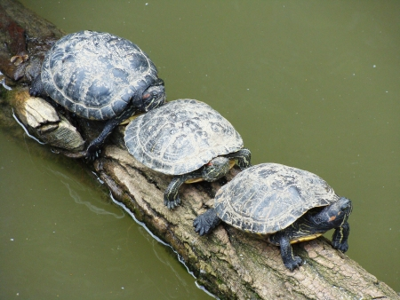 Three turtles are basking in the sun   Reklamní fotografie