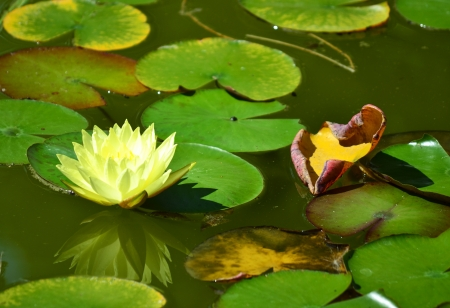 water lily with leaves Reklamní fotografie