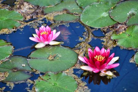 Dvě kvetoucí lekníny