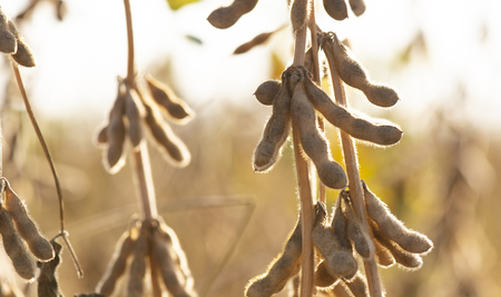 Mature soybeans on soybean plantation in close-up