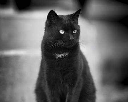 Black cat with yellow eyes - black and white