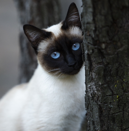 Siamese cat with bright blue eyes climbing on the tree
