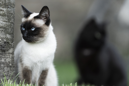 Siamese cat and black cat are watching