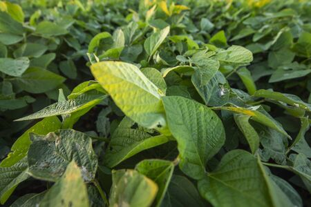 Soybean crop damage by pest, disease and Nutrient Deficiency, crop planting at the field