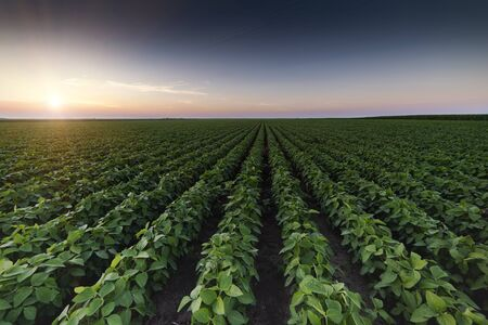 Agricultural soy plantation on twilight - Green growing soybeans plant against sunlight Stok Fotoğraf