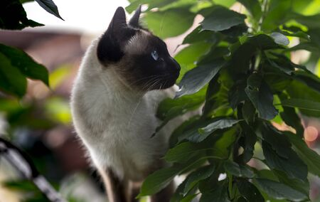 Siamese cat with blue eyes climbing on the tree