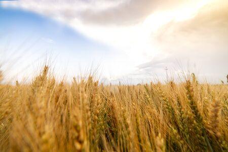 Weath cereal field in Serbia in the summer. Green wheat ears on a field Stok Fotoğraf