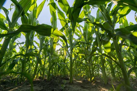 Young green corn on stalk in fields. Young Corn Plants. Agriculture