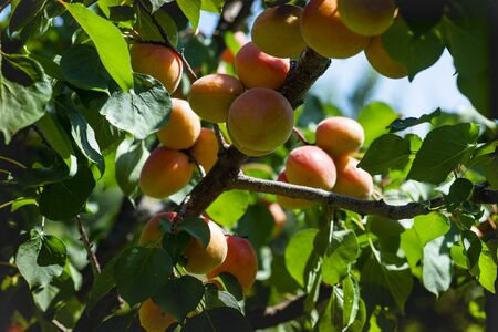Branch of an apricot tree with ripe fruits in the garden