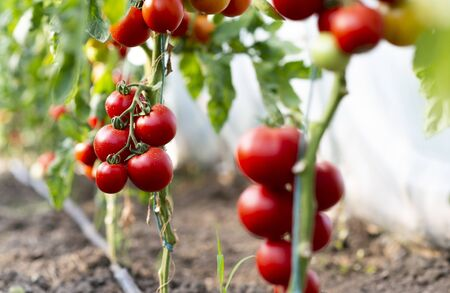 Red tomato in greenhouse