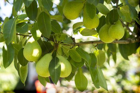 Ripe organic cultivar pears in the summer garden Stok Fotoğraf