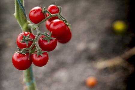 Beautiful red ripe cherry tomatoes grown in a greenhouse