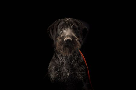 Portrait of young hunting dog, German Wirehaired Pointer on a black background