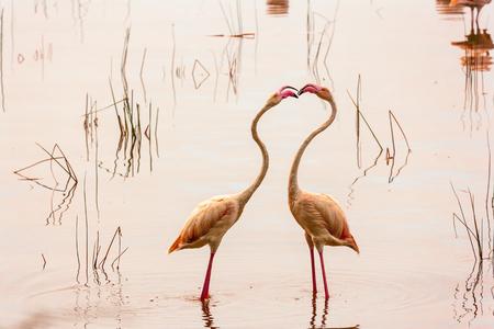 nakuru: Dance of love. Dancing flamingos at Lake Nakuru. Kenya.