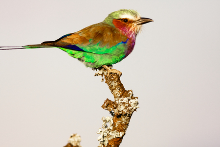 sweetwater: Roller on the tree. SweetWaters park. Kenya, Africa Stock Photo