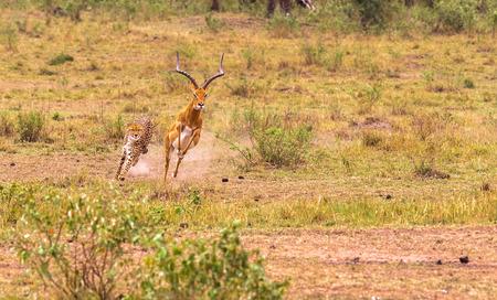 Jagd Gepard in der Savanne. Masai Mara, Kenia.