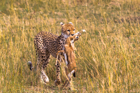 Cheetah with prey. Impala winner. Masai Mara, Kenya Stock Photo