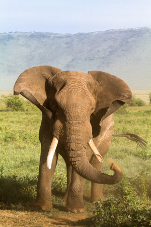 frenzied: Elephant. Old and angry. NgoroNgoro, Africa.