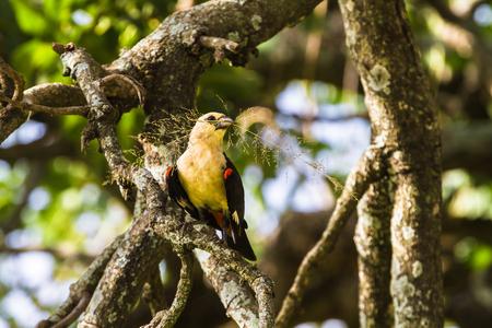 Yellow bird on a tree. Hangbird. Tarangire, Tanzania