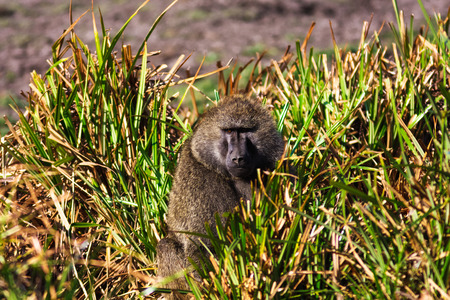 Baboon in the savannah. Samburu, Kenya Stock Photo