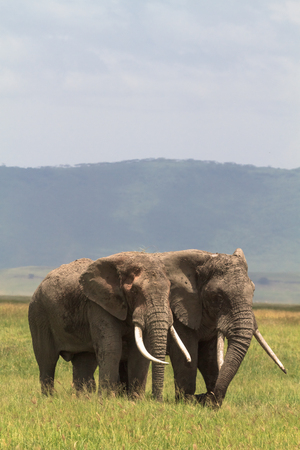 frenzied: Two friend. Old elefants from crater. NgoroNgoro, Tanzania.