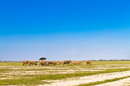 Elephants go away. Savanna of Amboseli, Kenya