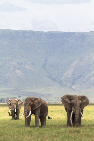 frenzied: Three friends. Old elefants from crater. NgoroNgoro, Tanzania.