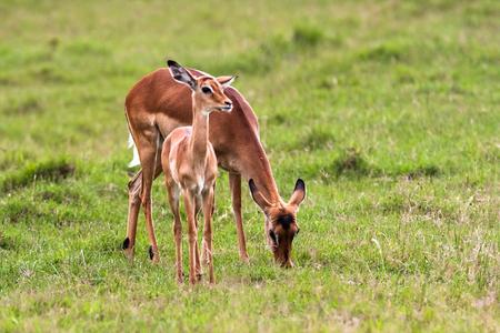 nakuru: Impala with baby. Nakuru, Kenya