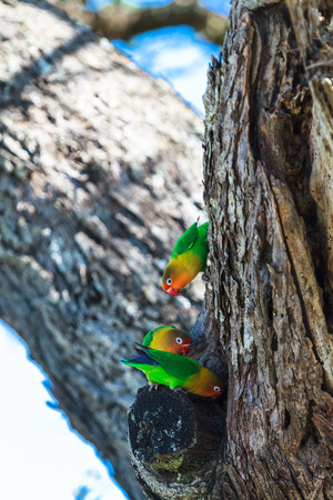 African lovebirds selecting a nest in a tree in the Serengeti, Tanzania, Africa Stock Photo